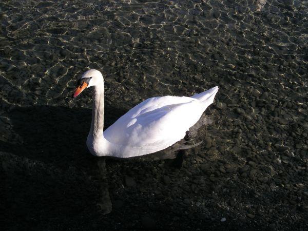 Stolzer, schöner Wasservogel.