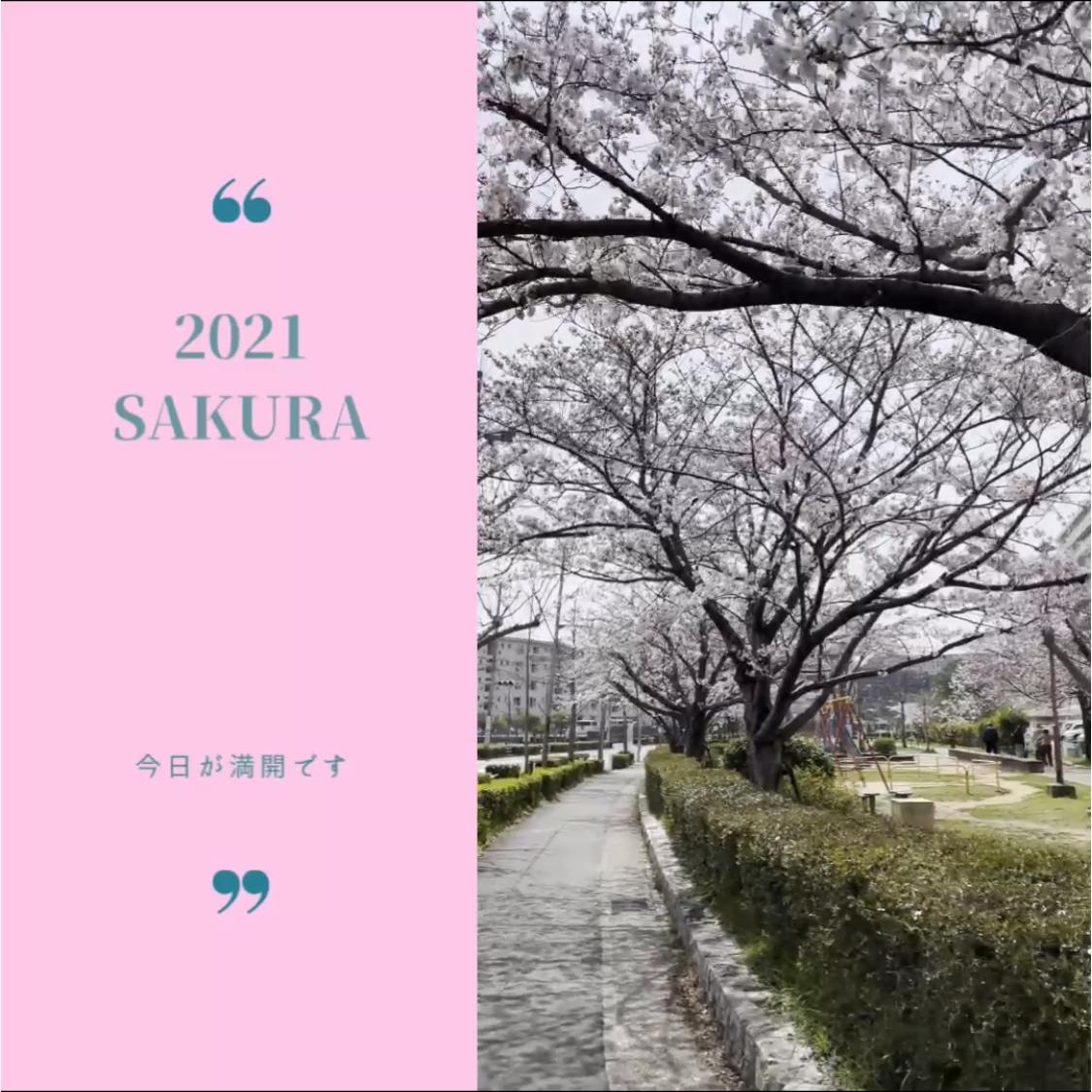 桜が満開です✨