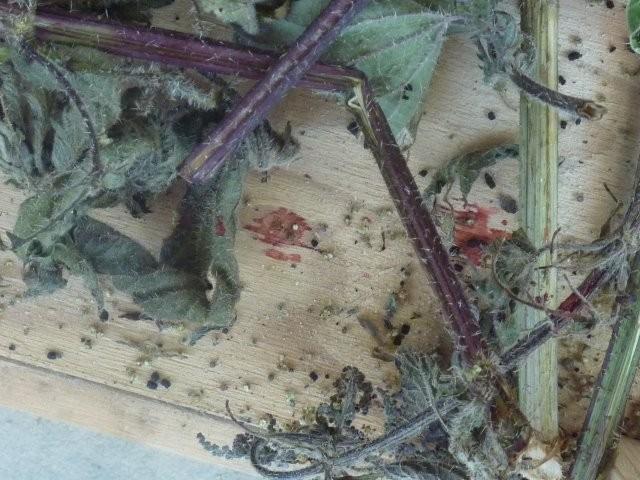 Jeder ausgeschlüpfte Schmetterling hinterlässt einen Blutstropfen.
