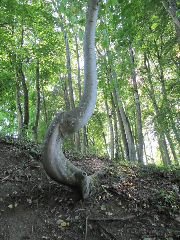 Près de la fontaine, un arbre qui fait une grosse boucle pour éviter ?