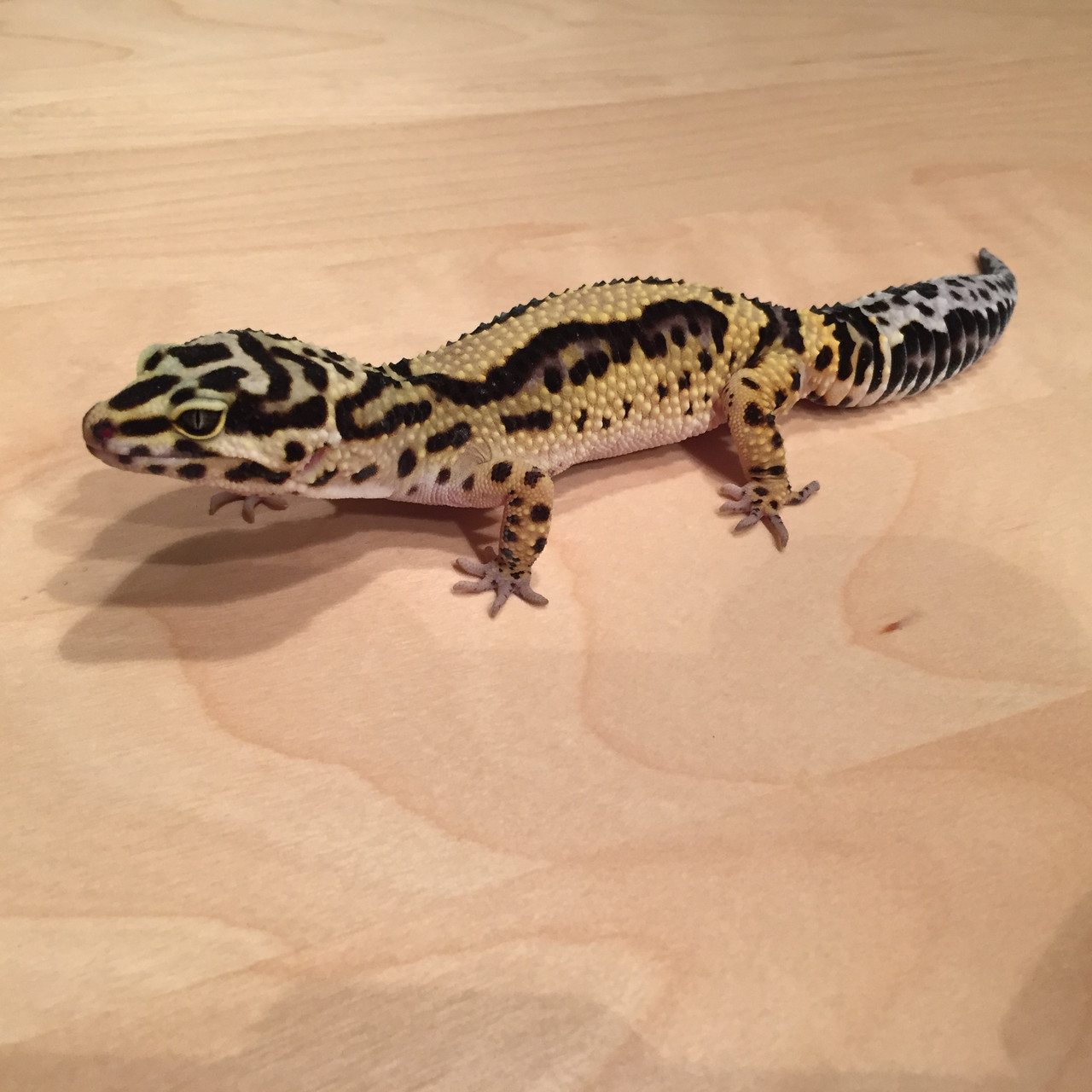 6 Monate alt: Leopardgecko 'Love' Tangerine Bold Stripe (Aufnahmedatum: Februar 2015) Courtesy J.B.