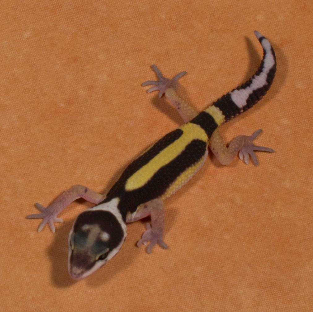 Gerade geschlüpft: Leopardgecko 'Faith' Tangerine Bold Stripe (Aufnahmedatum: 1. August 2015)