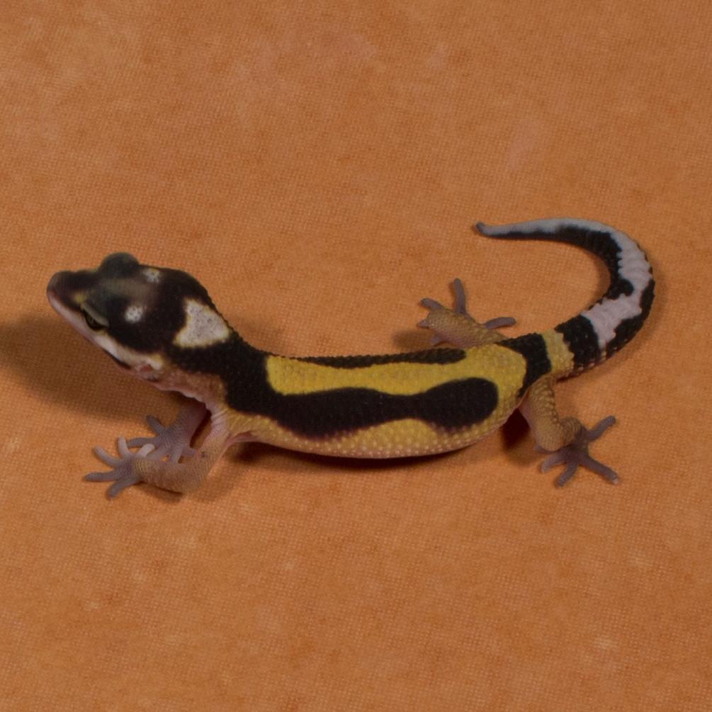 Gerade geschlüpft: Leopardgecko 'Love' Tangerine Bold Stripe (Aufnahmedatum: 1. August 2015)