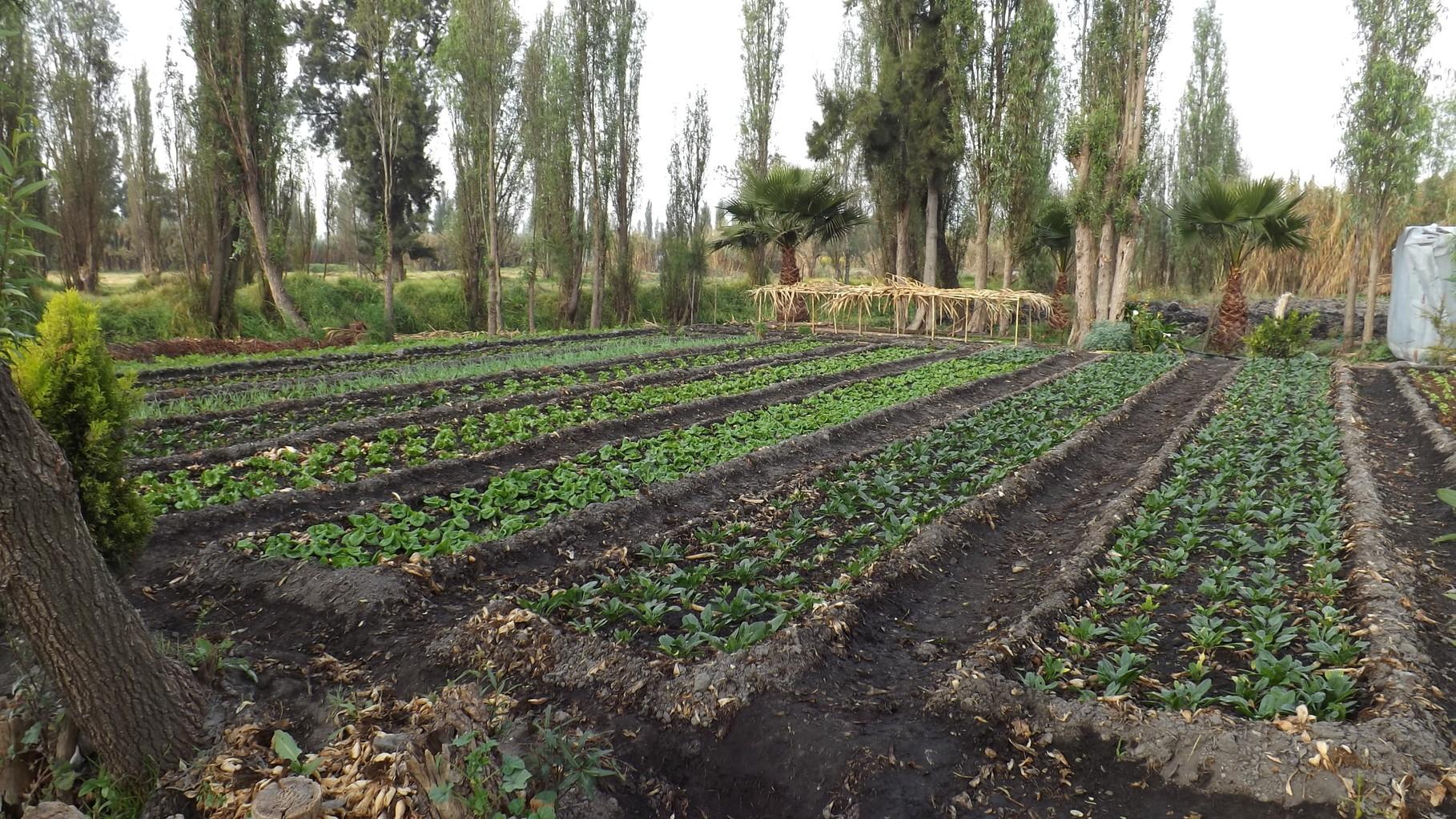 Cultivo de espinaca.