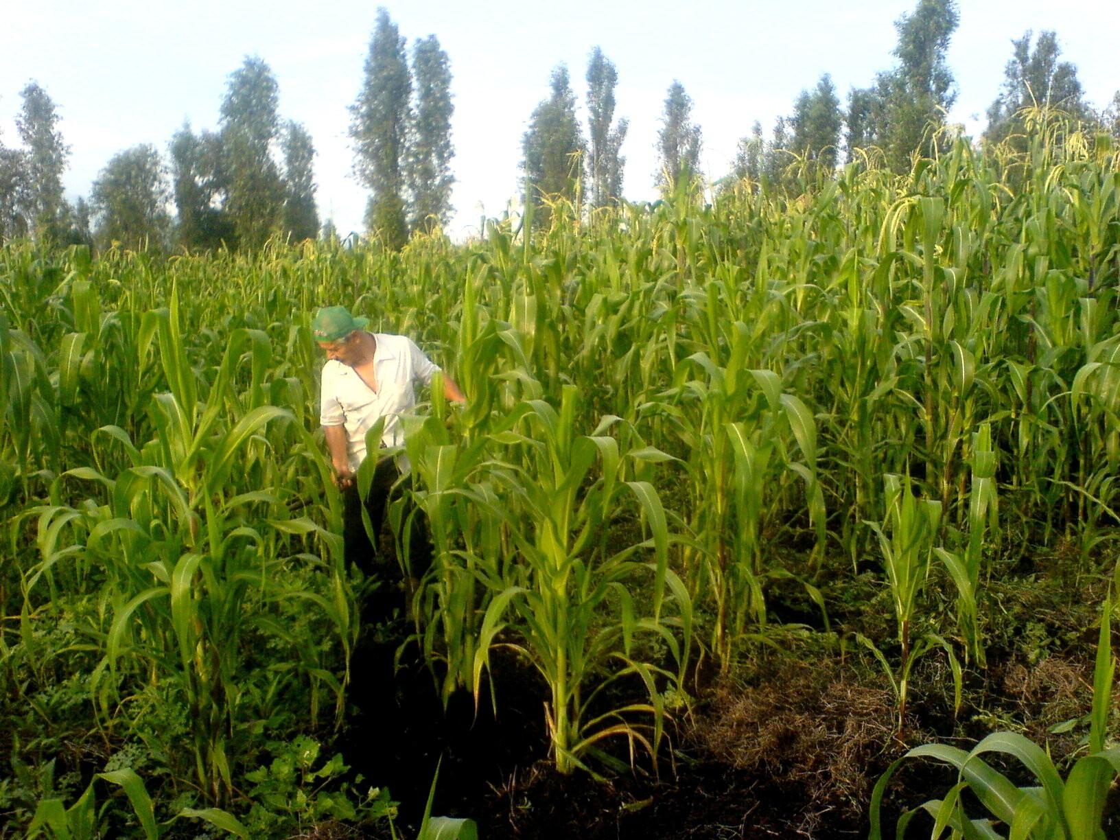 ¡¡ La cosecha de elote empieza a principios de agosto!!