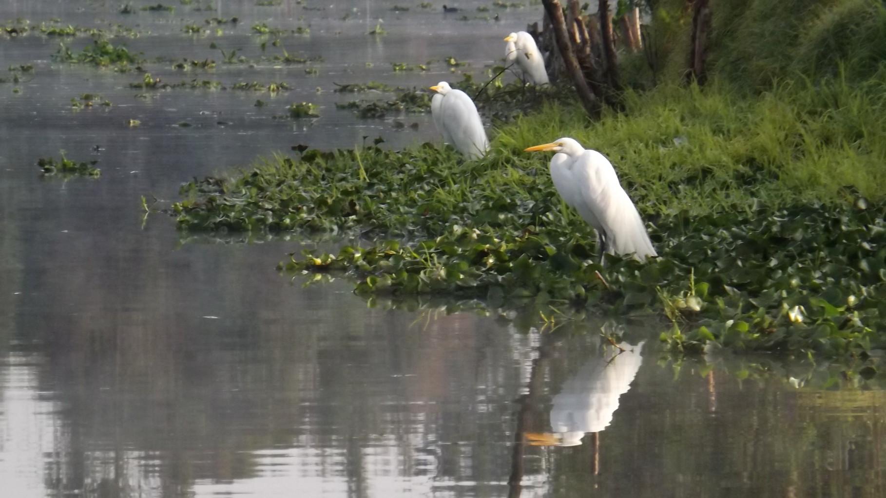 Las garzas blancas son de las aves más vistas en los canales de Xochimilco.