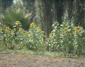 Cultivo de girasoles.