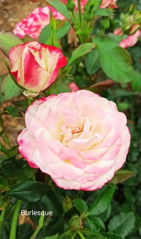 Jetzt wird der Rosensommer gepflanzt