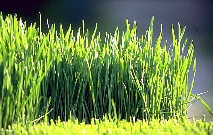 frisches Weizengras bestellen, Weizengrassaft