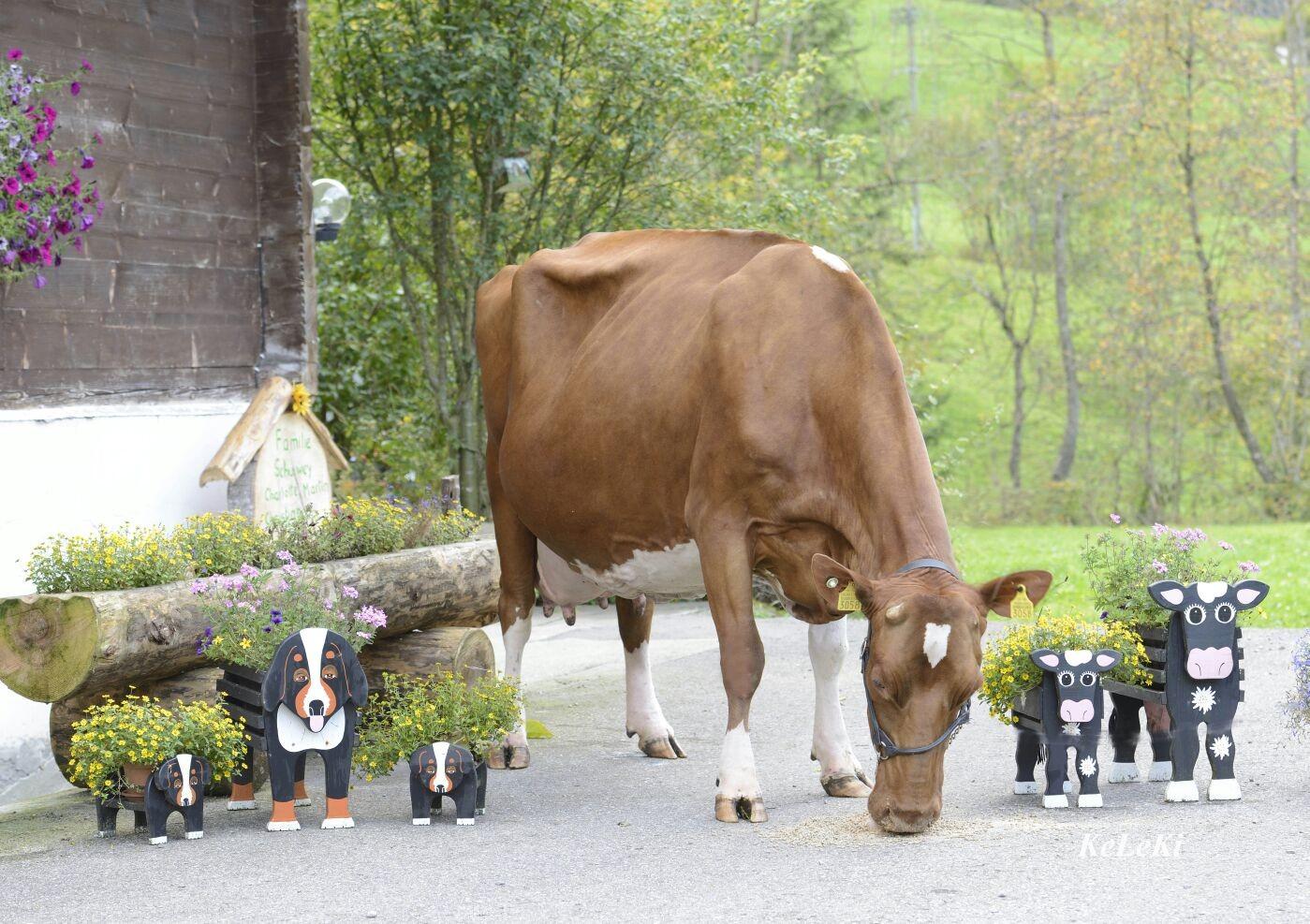 Kuh Freude hat eine Lebensleistung von mehr als 100'000 Liter Milch