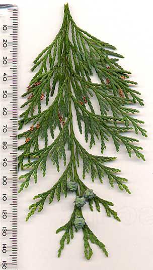 Tannenarten Weihnachtsbaum.Lawsons Scheinzypresse Chamaecyparis Lawsoniana Als Besonderer