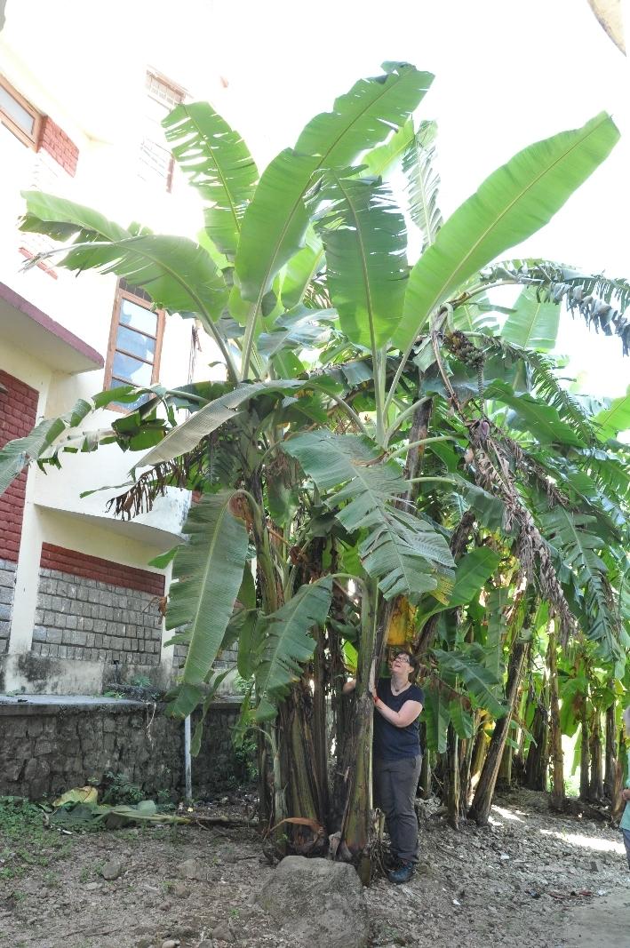 TCV Chauntra, Banana trees