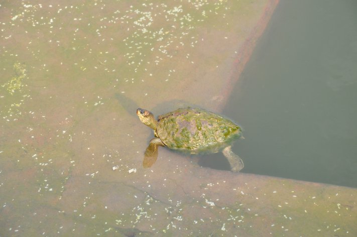 Turtle in the holy lake
