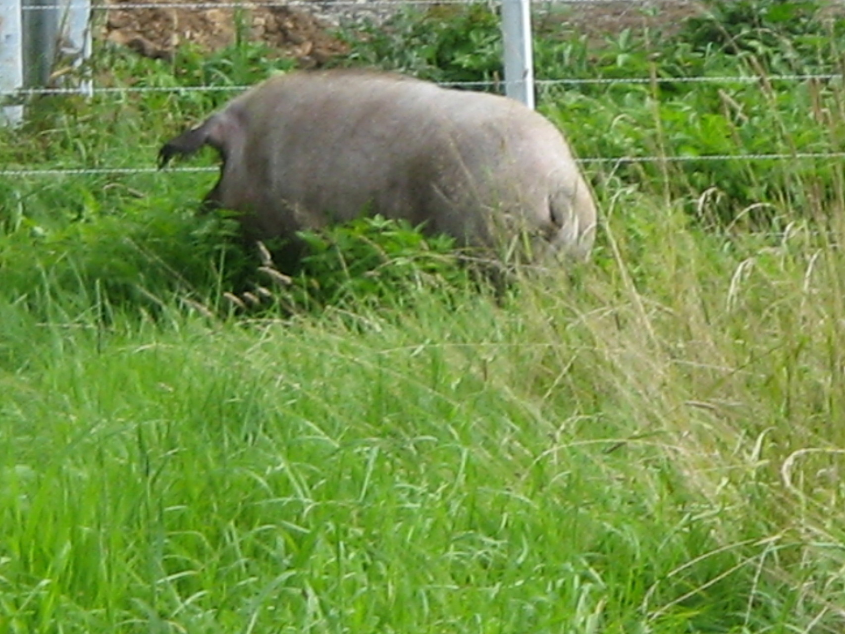 Wollschwein