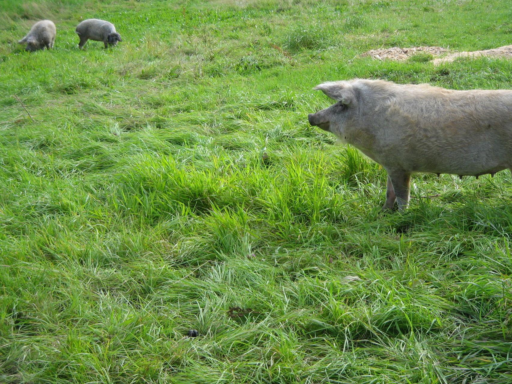 Mangalitzaschweine