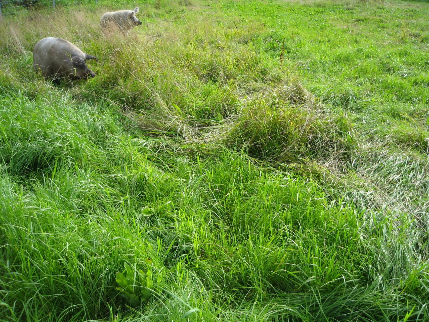 Wollschweine auf der Weide