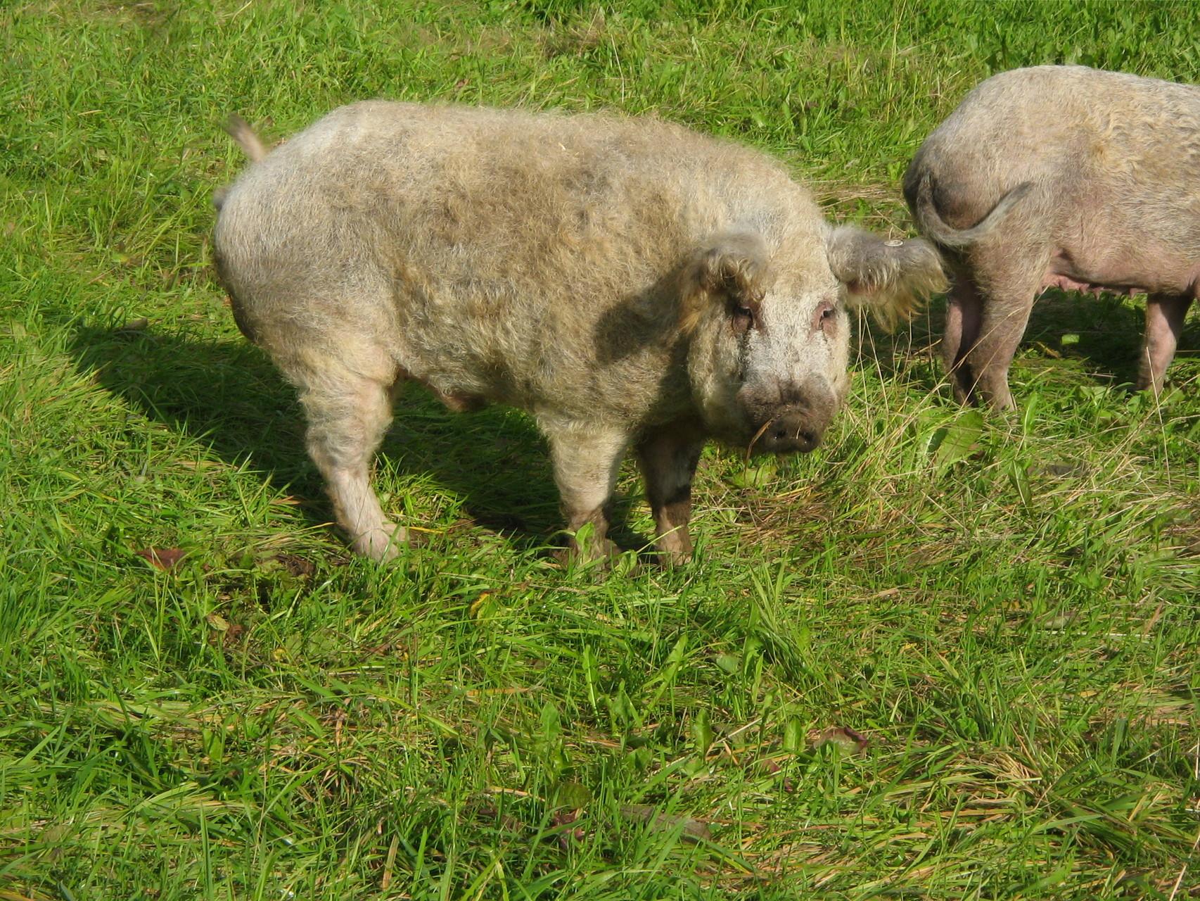 Mangalitzaschweine auf dem Mangalitza Hof Fendt