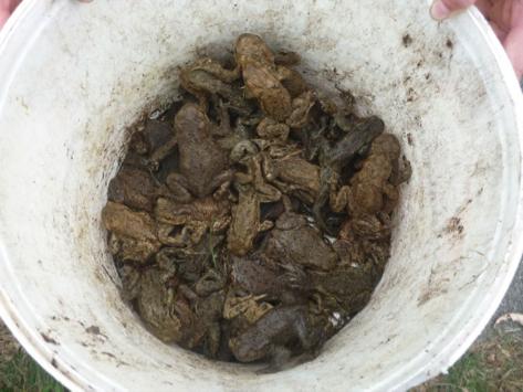 Eimer voller Erdkröten in verschiedenen Farbvarianten (Foto: Rost)