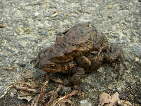 Erdkrötenpaar, Weibchen unten, Männchen oben (Foto Goldammer)
