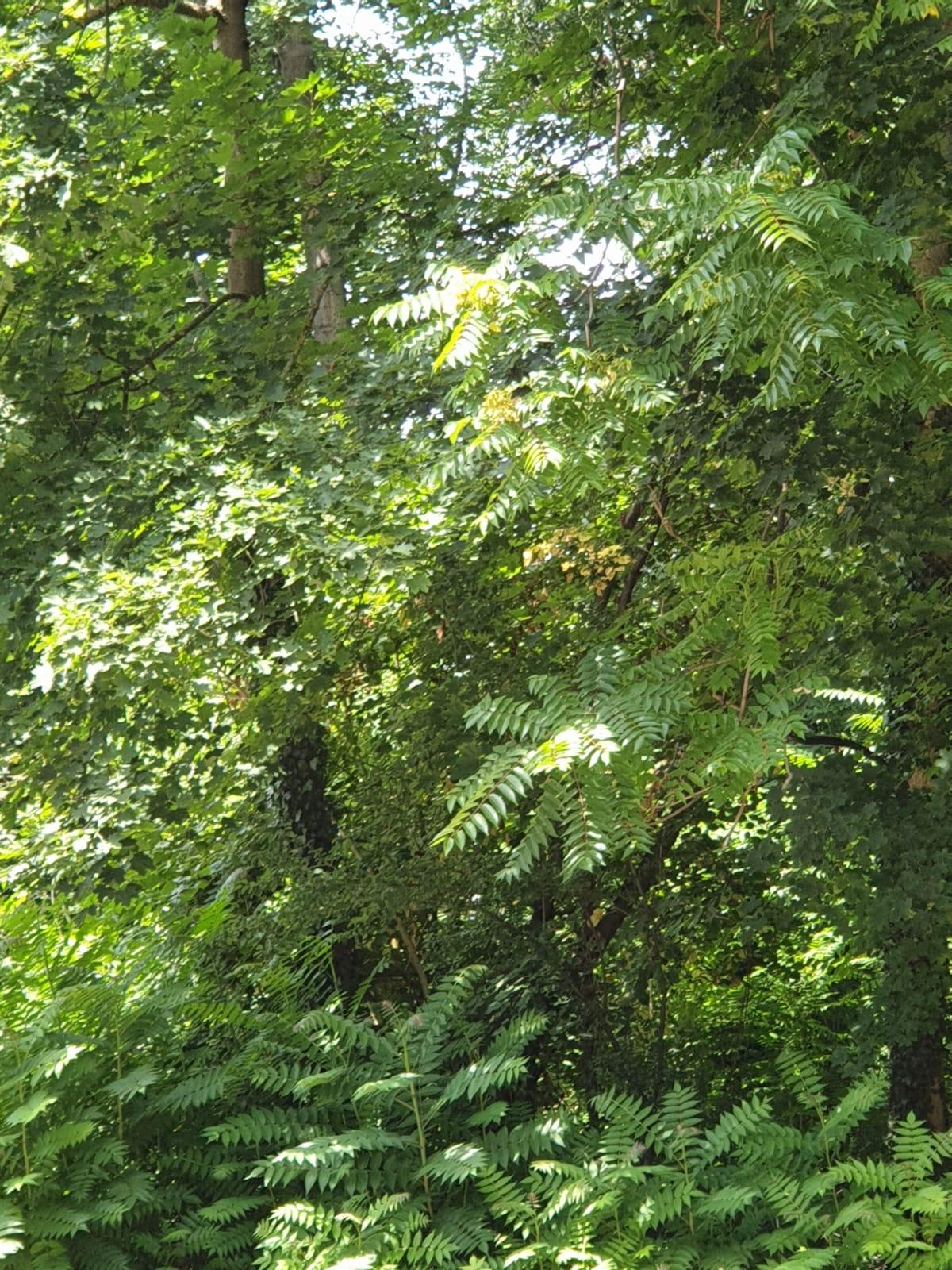 Götterbaum im Käfertaler Wald II