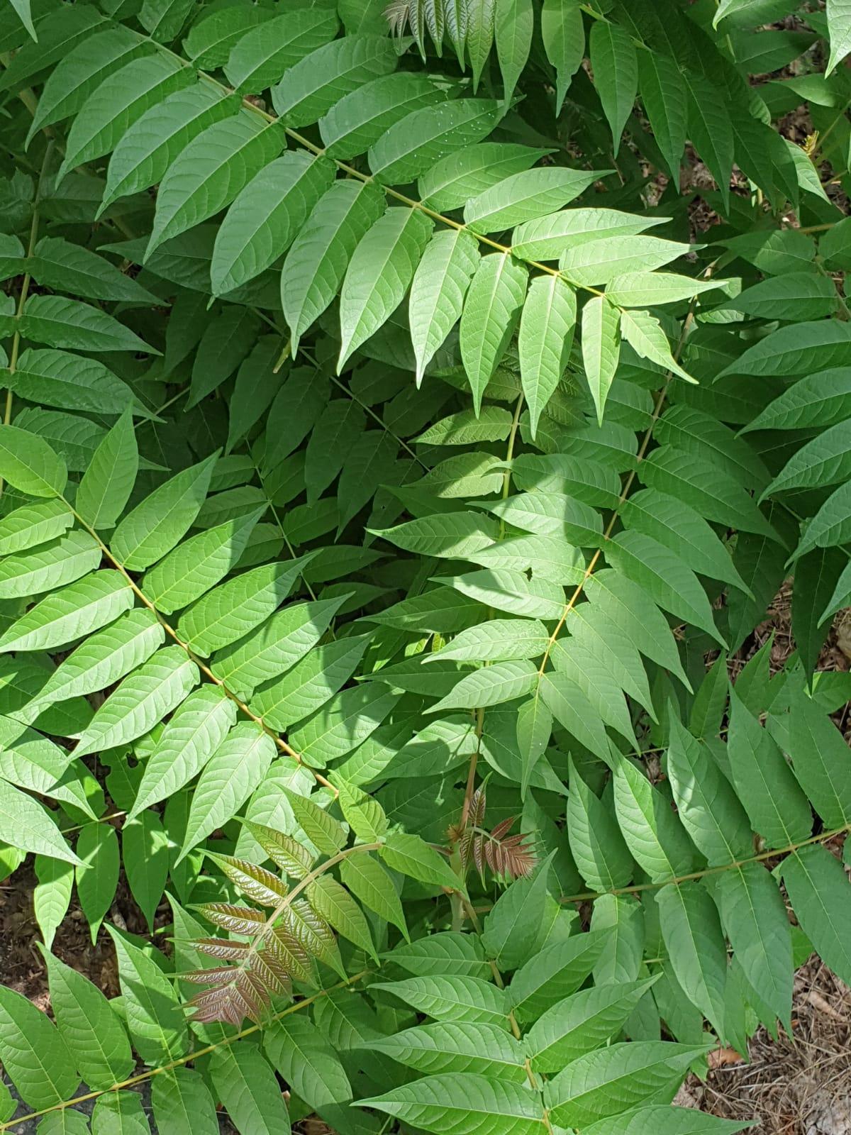 Götterbaum im Käfertaler Wald I