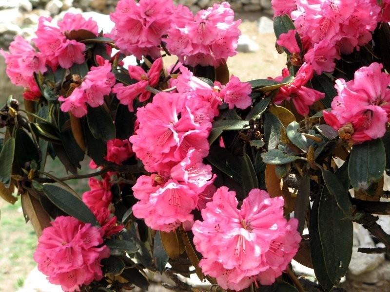Les rhodos à Taksindu en avril