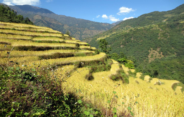 RIZIERES EN TERRASSES AU DEBUT DU TREK APRES SUKETAR  trek Kangchenjunga photo Jean Luc Michod