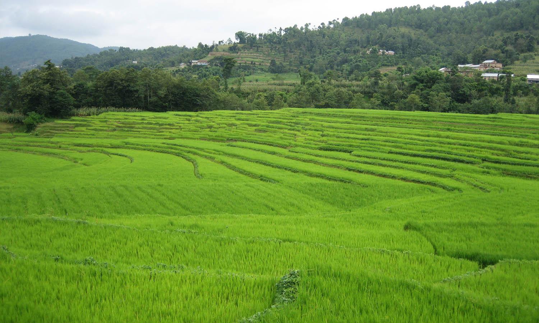 Rizières lors du petit trek autour de Kathamndu