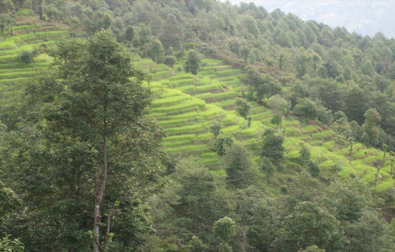 RIZIERES DU DEBUT DE TREK VERS KAKANI  trek Langtang  photo  Noelle Touma Nepal Khumbu Shangrila