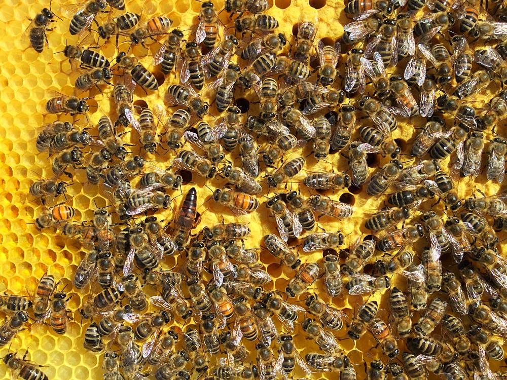 Bienen auf verdeckelter Brut mit der Königin! Hast du sie gefunden?