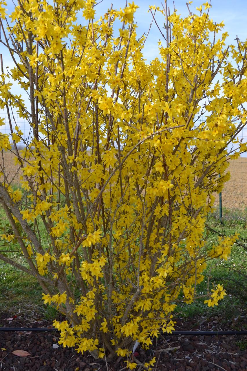 Les forsythia et bien d'autres arbustes fleurissent pour que vous profitiez au maximum de ce décor naturel privilégié