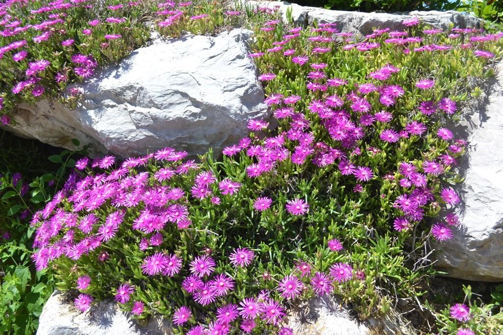 Les rocailles fleuries avec de profondes senteurs