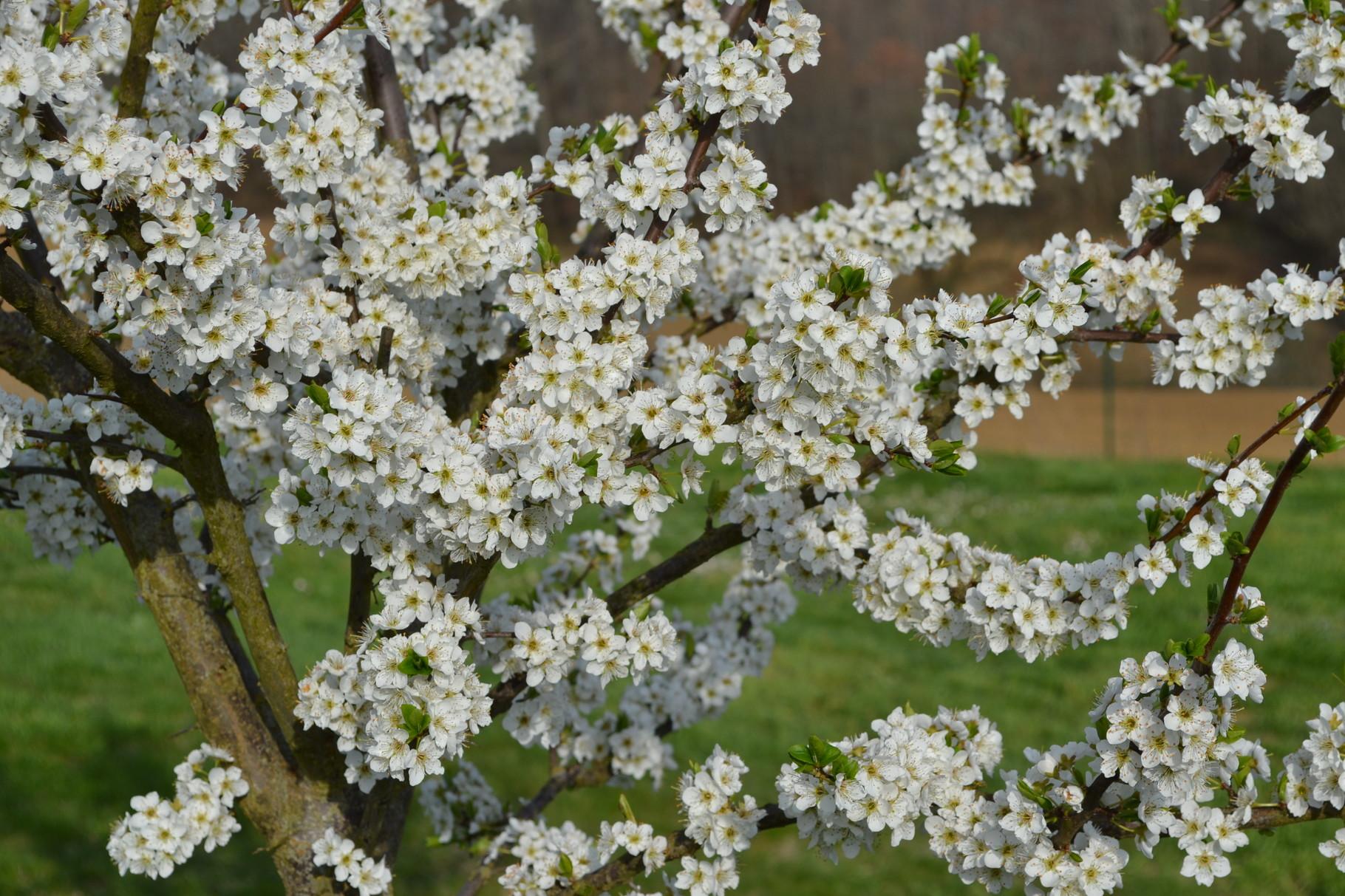 Le printemps s'annonce, les fruitiers sont en fleurs en attendant les fruits que vous pourrez déguster sur place.