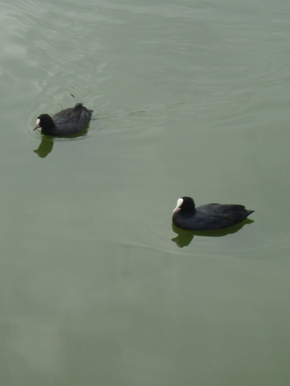 Coots (photo by Steve Self)