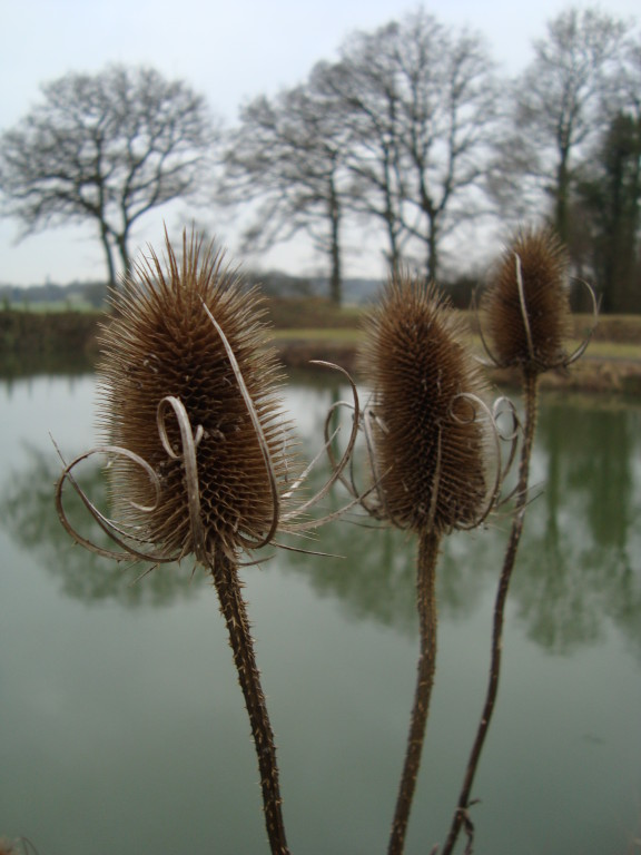 Teasels (photo by Steve Self)