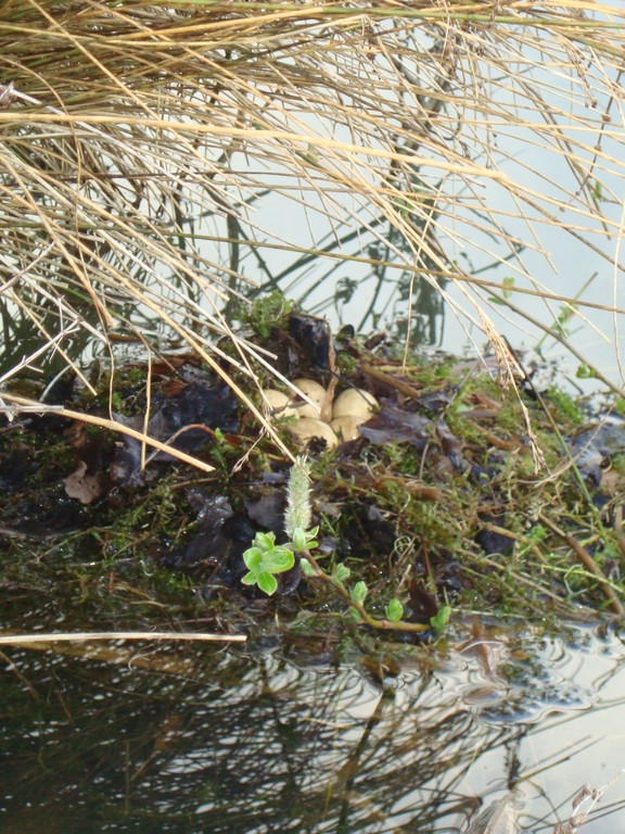 Little Grebe Nest and Eggs (photo by Steve Self)