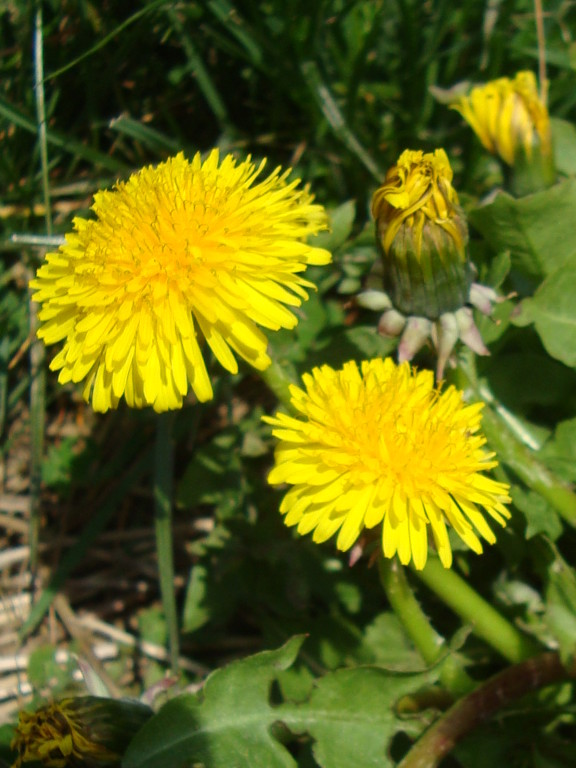 Dandelion (photo by Steve Self)