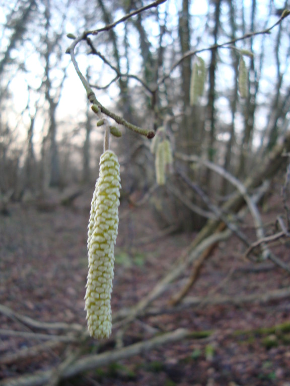 Hazel Catkins (photo by Steve Self)