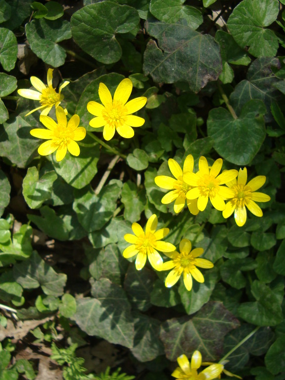 Lesser Celandine (photo by Steve Self)
