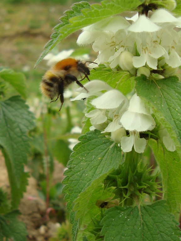 Bumble Bees on Dead Nettle (photo by Steve Self)