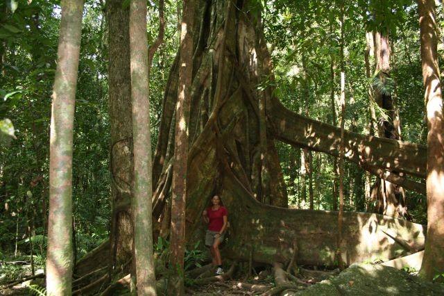 Regenwald-Giganten