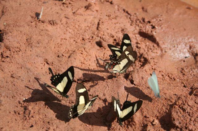 Schmetterlinge im Pantanal