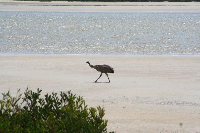 Emu-Strandspaziergang
