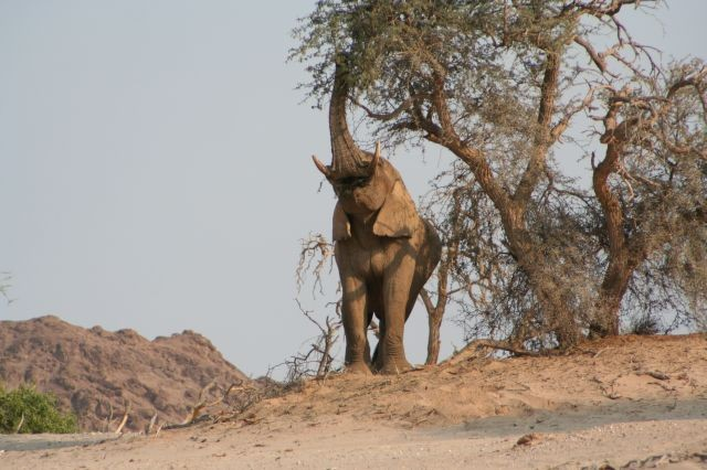 Wüstenelefant