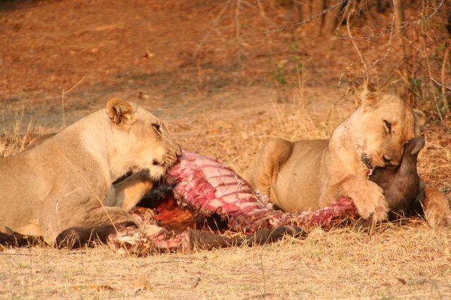 Löwen - Frühstück