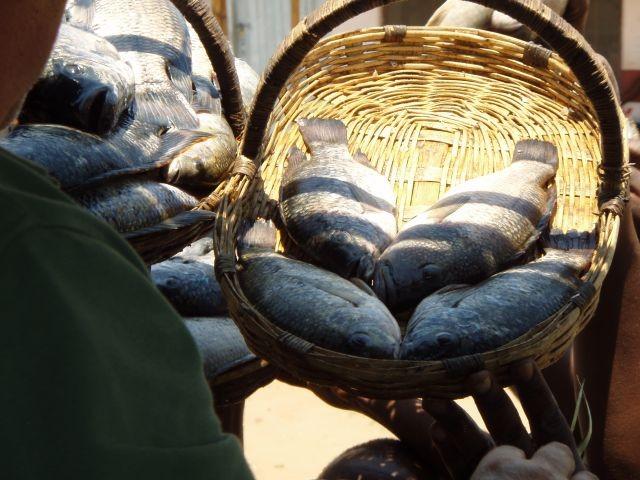 Choba Süßwasserfisch