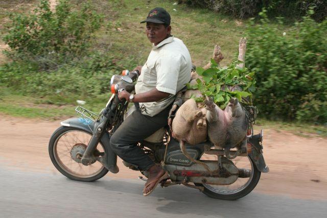 Schweinetransport lebend