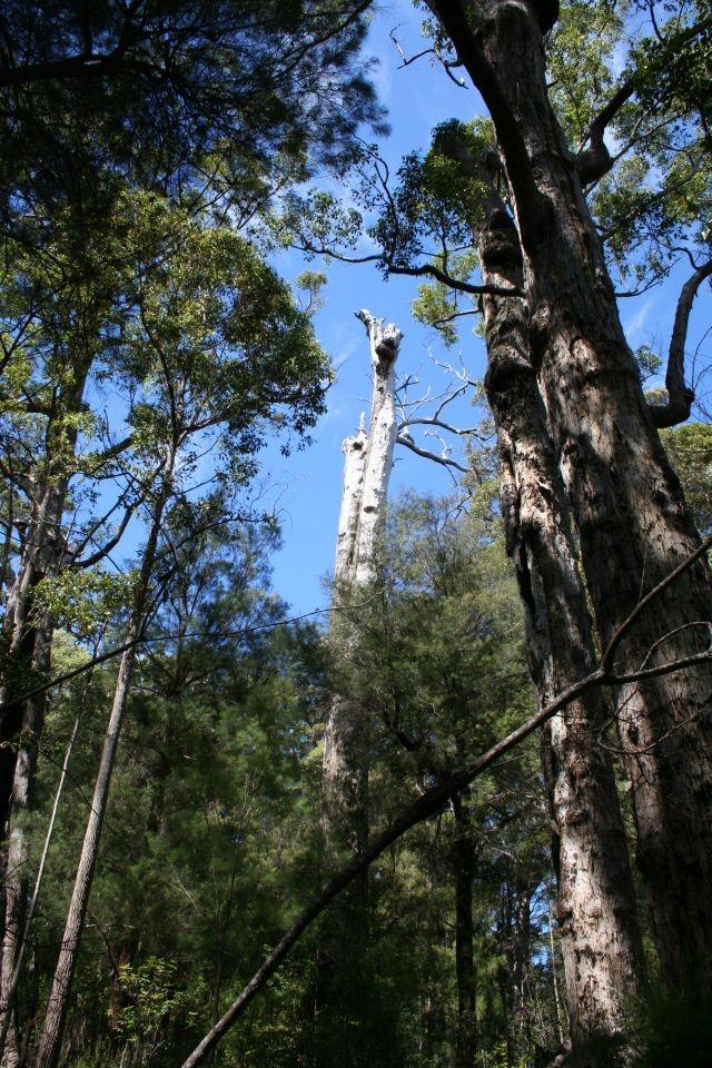 Karri-Bäume