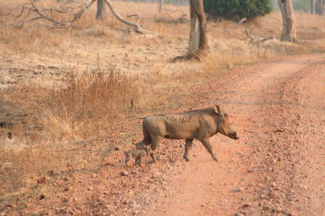 Warzenschwein mit Nachwuchs