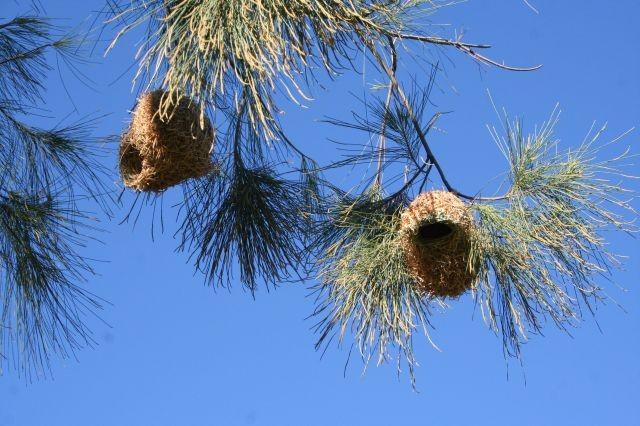 Nest der Webervögel